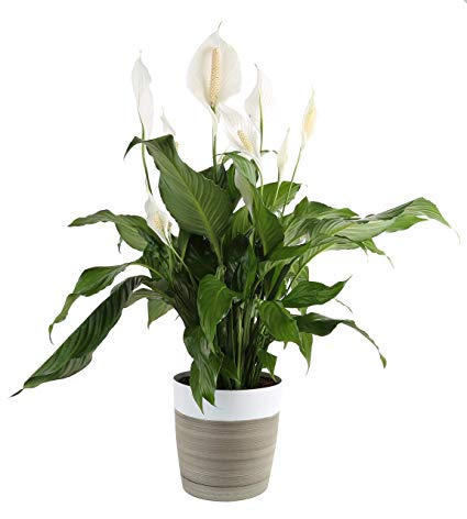 peace lily cats