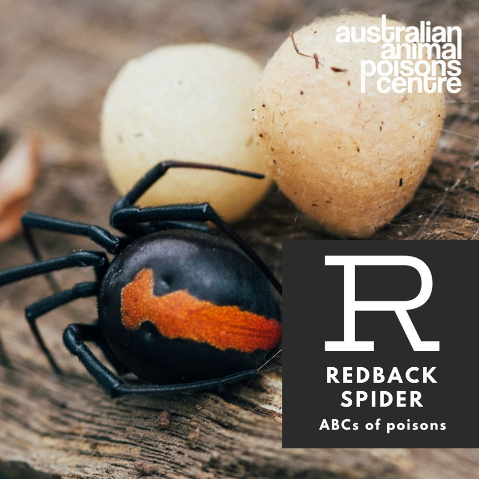 redback spider dog and cat